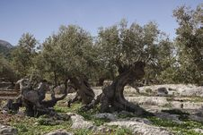 Olive Trees On The Mountains Of Mallorca Stock Images