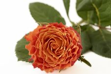 Free Closeup Orange Rose Stock Images - 32329754