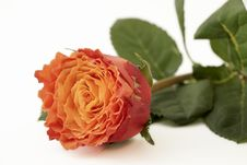 Free Closeup Orange Rose Stock Photos - 32329803