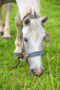 Free White Horse Eating Grass Stock Photography - 32336832