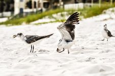 Free Seagulls On Beach Sand Royalty Free Stock Photos - 32330638