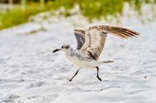 Free Seagulls On Beach Sand Stock Photo - 32330640