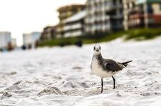 Free Seagulls On Beach Sand Stock Image - 32330641