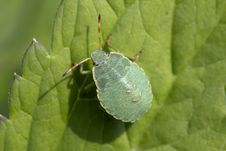 Free Nymph A Bug. Palomena Prasina &x28;young Bug Shchitnikov&x29;. Stock Photo - 32332500