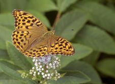 Free Butterfly Great Forest &x28;lat. Concern Argynnis Paphia&x29;. Royalty Free Stock Images - 32332959