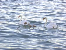 Free Swan Family Stock Photo - 32338140