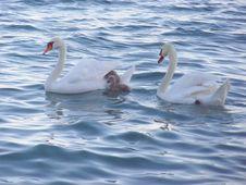 Free Swan Family Swiming In The Lake Royalty Free Stock Photo - 32338165