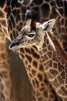 Free Giraffe Royalty Free Stock Photo - 32343455