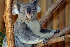 Free Koala Royalty Free Stock Image - 32343946