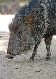 Free Peccary Stock Photo - 32344030