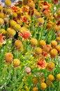 Free Orange Echinacea Flowers Stock Photography - 32350282