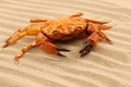 Free One Crab Is Located On Sandy Background Royalty Free Stock Photos - 32354708
