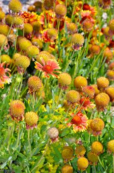 Free Orange Echinacea Flowers Stock Photography - 32350282