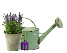 Lavender In A Flower Bucket With Watering Can In Background Royalty Free Stock Images