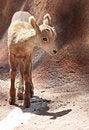 Free Lamb Stock Photos - 32365473