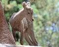 Free Lamb Royalty Free Stock Image - 32365626
