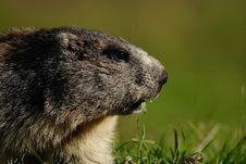 Free Alpine Marmot Stock Photo - 32366270