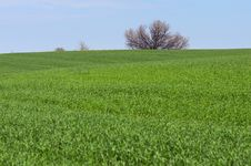 Free Green Field Of Young Wheat Stock Images - 32368234