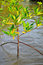 Free Mangrove Plants Stock Images - 32364824