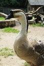 Free Goose Stock Photo - 32374730