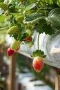 Free Red Fresh Strawberry Royalty Free Stock Photos - 32375878