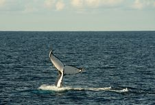 Free Whales Stock Image - 32372451