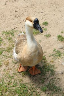 Free Goose Royalty Free Stock Photos - 32374718