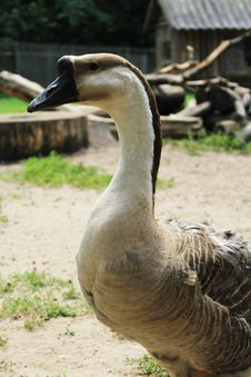 Free Goose Stock Photo - 32374730