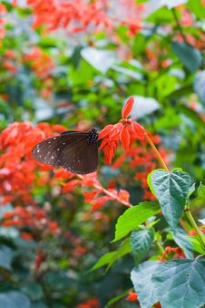 Black And Brown Butterfly Stock Image