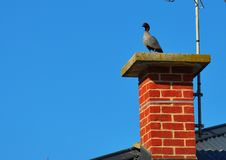 Free Australian Wood Ducks Sitting On Brick Chimney. Royalty Free Stock Photo - 32376685