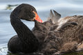 Free Black Swan Stock Photos - 32385423