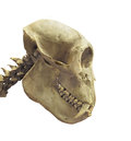 Free Skull Of A Primate Isolated. Royalty Free Stock Image - 32390106