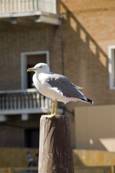 Free Seagull In Venice Royalty Free Stock Photo - 32391675