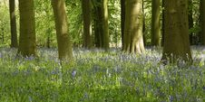 Free Blue Bell Wood Stock Photography - 32392402