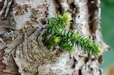 Free Bark Pine And Leaf Royalty Free Stock Photo - 32393975
