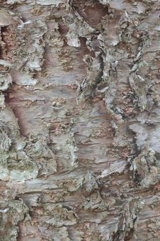 Free Bark Of Pine Tree Stock Photo - 32394000