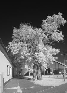 Free Acacia Tree In Infrared Light Royalty Free Stock Photos - 32396188