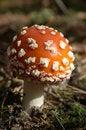 Free Fly-agaric Mushroom Royalty Free Stock Image - 3240936