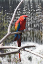 Free Red Parrot Stock Photography - 3243602