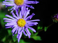 Free Purple Daisy Wth Bug Stock Photos - 3243623