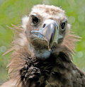 Free Eurasian Black Vulture 6 Royalty Free Stock Image - 3247466