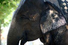 Free Elephant Royalty Free Stock Photos - 3240678