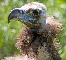 Eurasian Black Vulture 5 Royalty Free Stock Photos