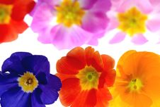 Free Primula Stock Photos - 3240813