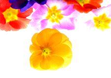 Free Primula Royalty Free Stock Image - 3240826