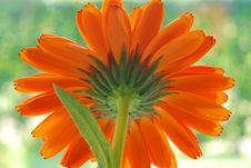 Free Orange Gerber Royalty Free Stock Photo - 3241035