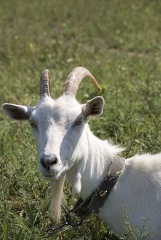 Free Old Goat Royalty Free Stock Images - 3241069