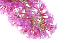 Pink Fower Royalty Free Stock Images
