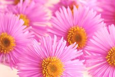 Free Asters Stock Image - 3242161