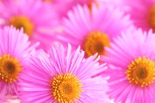 Free Asters Stock Photo - 3242170